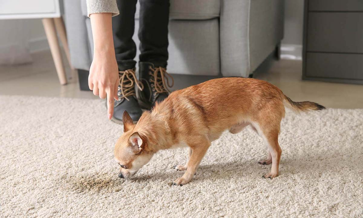 How to Clean Dog Poop Out Of Carpet?